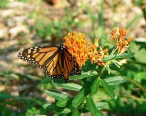 A monarch butterfly lands on butterfly weed.