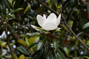 A white flower blooms on a Little Gem tree.